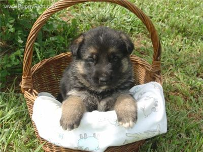 GermanShepherdpuppieswanted